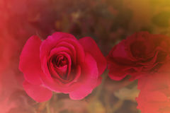 Rose douce de rouge d'amour de fond abstrait de concept dans le drea romantique Image stock
