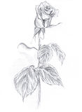 Rose drawn in pencil on an white background. Hands drawing for your design royalty free illustration