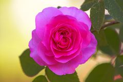 Rose dream Royalty Free Stock Photos