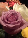 Rose. Dream drops Beaute love tender petals smell color gift stock photo
