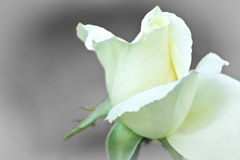 The rose of dreams. White delicate rose on black and white background Stock Photo