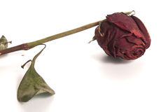 Rose - Dried Royalty Free Stock Image