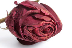 Rose - Dried Stock Image