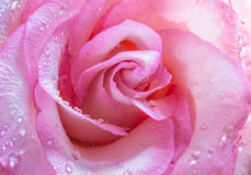 Rose in drop water Royalty Free Stock Images