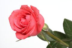 Rose with droplets. Close up of rose with water droplets stock images