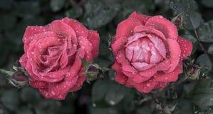Rose Drops Imágenes de archivo libres de regalías