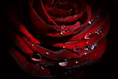 Rose and Drops. Red Rose and many Drops Royalty Free Stock Photography