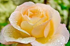 Rose with drops Royalty Free Stock Image