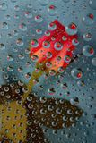 Rose in drops on blue Stock Image