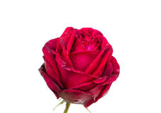 Rose is with drops of dew. Is on a white background Royalty Free Stock Images