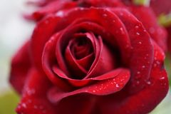 Rose. Drops red tender love stock image