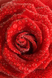 Rose with drops of water. Royalty Free Stock Photo
