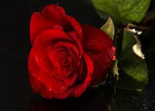 Rose with drops of water Stock Image