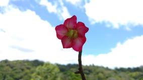 Rose du désert photo stock