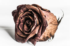 Rose in dying stage Stock Images