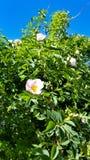 rose dziczy obrazy royalty free