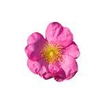 rose dziczy zdjęcie royalty free
