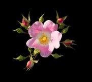 rose dziczy obraz stock