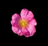 rose dziczy zdjęcia royalty free