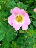 rose dziczy obrazy stock