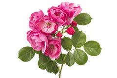 rose dziczy Zdjęcie Stock