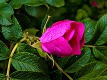 rose dziczy fotografia royalty free