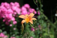 Rose e fiore giallo Immagini Stock