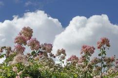 Rose e nuvole Fotografia Stock