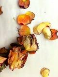 Rose e petali gialli e arancio su un fondo bianco David Austin fotografia stock libera da diritti