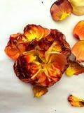 Rose e petali gialli e arancio su un fondo bianco David Austin immagine stock libera da diritti
