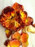 Rose e petali gialli e arancio su un fondo bianco David Austin fotografia stock