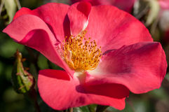 Rose in einem botanischen Garten Stockbilder