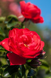 Rose in einem botanischen Garten Lizenzfreie Stockfotografie
