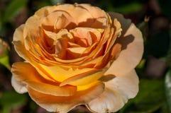 Rose in einem botanischen Garten Stockfotos
