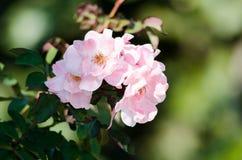Rose in einem Garten Lizenzfreies Stockfoto