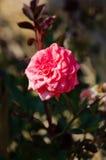 Rose in einem Garten Stockbild