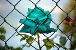 Rose a emprisonné bleu-clair Photos libres de droits