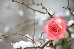 Rose en árbol Fotografía de archivo libre de regalías