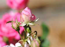 Rose rose en été photographie stock libre de droits