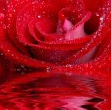 Rose en agua fotos de archivo