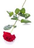 Rose en blanco Foto de archivo libre de regalías