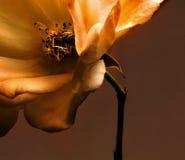 Rose en bronze Photos libres de droits