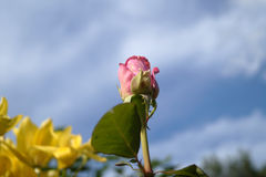Rose en ciel Photo stock