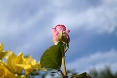 Rose en cielo Foto de archivo
