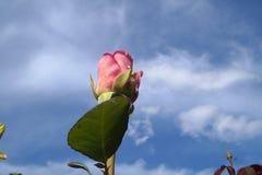 Rose en cielo Fotografía de archivo