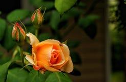 Rose en color anaranjado Fotografía de archivo