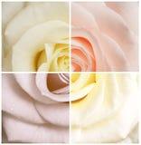 Rose en cuatro colores Foto de archivo