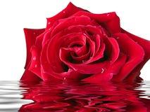 Rose en el agua Fotos de archivo