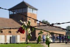 Rose en el alambre de púas en Auschwitz Imagen de archivo libre de regalías