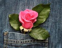Rose en el bolsillo Foto de archivo libre de regalías